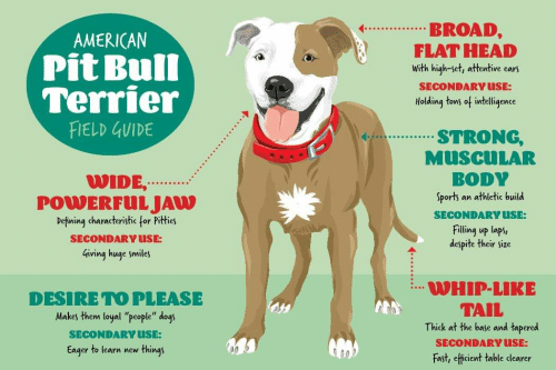 🦅 25+ Best Memes About American Pit Bull Terrier   American
