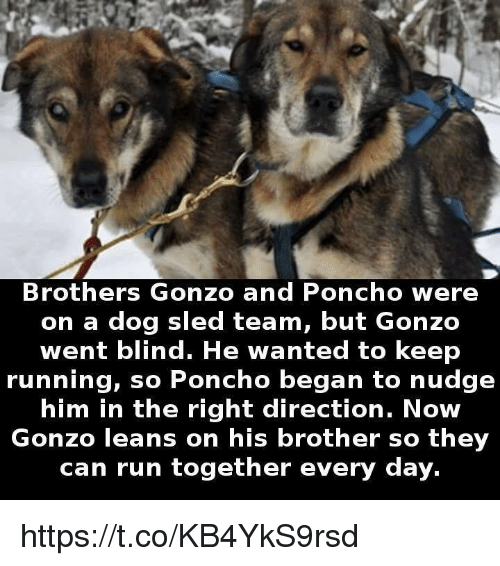 sleds: Brothers Gonzo and Poncho were  on a dog sled team, but Gonzo  went blind. He wanted to keep  running, so Poncho began to nudge  him in the right direction. Now  Gonzo leans on his brother so they  can run together every day. https://t.co/KB4YkS9rsd