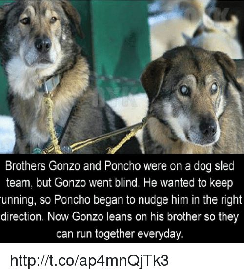 sleds: Brothers Gonzo and Poncho were on a dog sled  team, but Gonzo went blind. He wanted to keep  unning, so Poncho began to nudge him in the right  direction. Now Gonzo leans on his brother sothey  can run together everyday. http://t.co/ap4mnQjTk3
