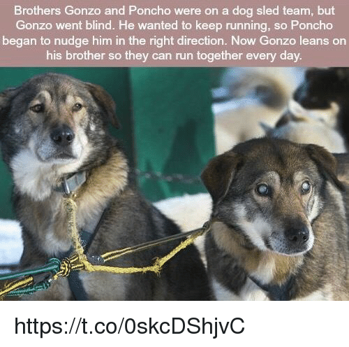 Run, Running, and Dog: Brothers Gonzo and Poncho were on a dog sled team, but  Gonzo went blind. He wanted to keep running, so Poncho  began to nudge him in the right direction. Now Gonzo leans on  his brother so they can run together every day. https://t.co/0skcDShjvC