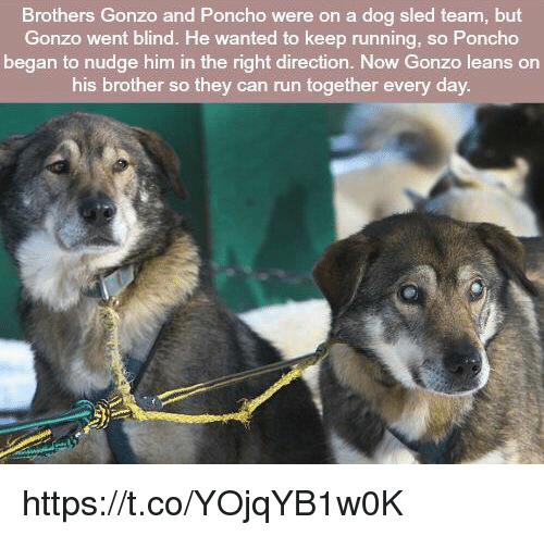 Memes, Run, and Running: Brothers Gonzo and Poncho were on a dog sled team, but  Gonzo went blind. He wanted to keep running, so Poncho  began to nudge him in the right direction. Now Gonzo leans on  his brother so they can run together every day https://t.co/YOjqYB1w0K