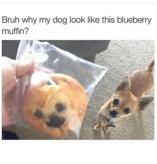 Bruh, Dog, and Blueberry: Bruh why my dog look like this blueberry  muffin?