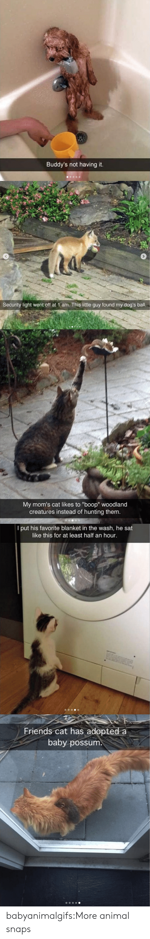 """Possum: Buddy's not having it.   Security light went off at 1 am. This little guy found my dog's ball.   My mom's cat likes to """"boop"""" woodland  creatures instead of hunting them.   I put his favorite blanket in the wash, he sat  like this for at least half an hour.   Friends cat has adopted a  baby possum babyanimalgifs:More animal snaps"""