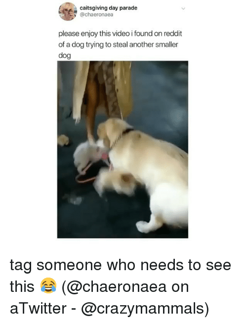 Memes, Reddit, and Video: caitsgiving day parade  @chaeronaea  please enjoy this video i found on reddit  of a dog trying to steal another smaller  dog tag someone who needs to see this 😂 (@chaeronaea on aTwitter - @crazymammals)