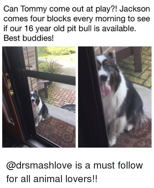 bulling: Can Tommy come out at play?! Jackson  comes four blocks every morning to see  if our 16 year old pit bull is available.  Best buddies! @drsmashlove is a must follow for all animal lovers!!