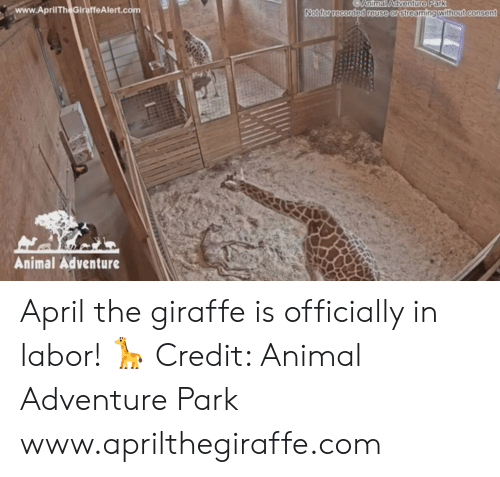 Animal, Giraffe, and April: CAnimal Adventure Park  www.AprilTheGiraffeAlert.co  without consent  Notfor recorded reuse or streamingt  Animal Adventure April the giraffe is officially in labor! 🦒  Credit: Animal Adventure Park www.aprilthegiraffe.com