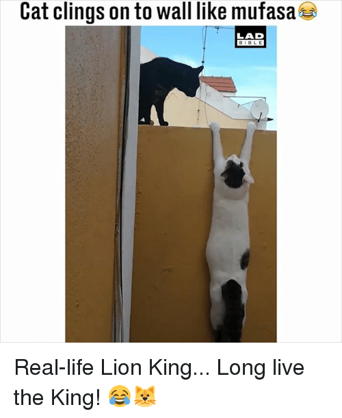 Life, Memes, and Mufasa: Cat clings on to wall like mufasa  LAD  BIBLE Real-life Lion King... Long live the King! 😂🐱