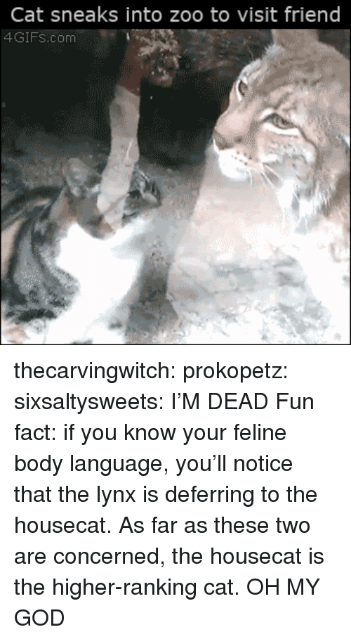 body language: Cat sneaks into zoo to visit friend  4GIFs.com thecarvingwitch:  prokopetz:  sixsaltysweets:  I'M DEAD  Fun fact: if you know your feline body language, you'll notice that the lynx is deferring to the housecat. As far as these two are concerned, the housecat is the higher-ranking cat.  OH MY GOD