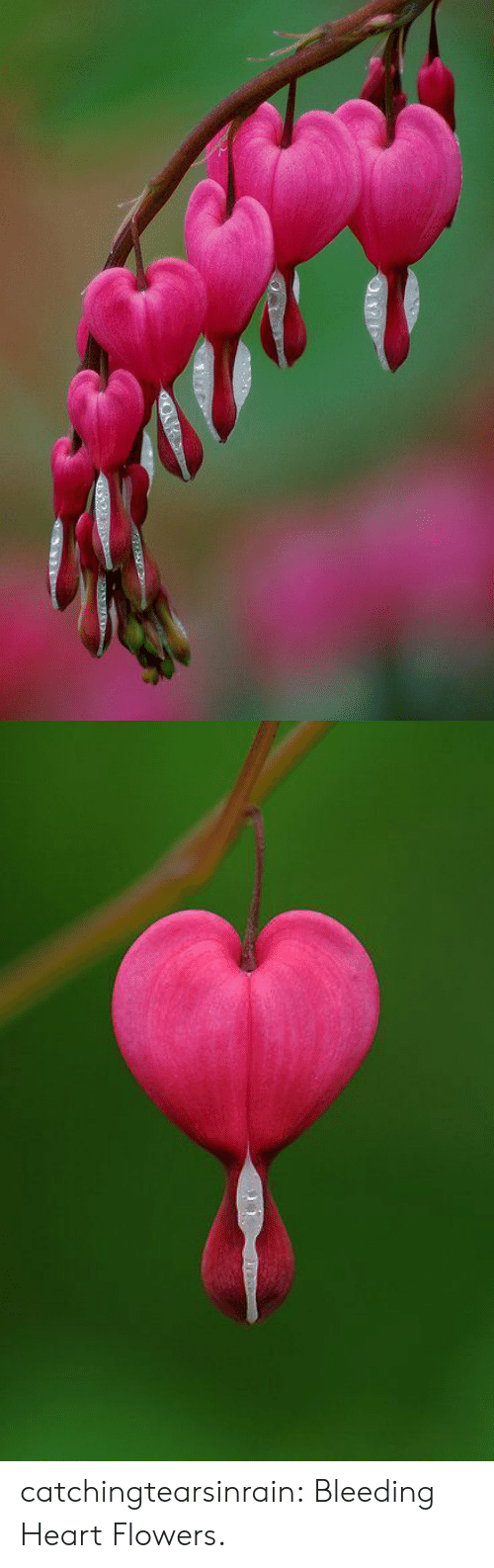 Flowers: catchingtearsinrain: Bleeding Heart Flowers.