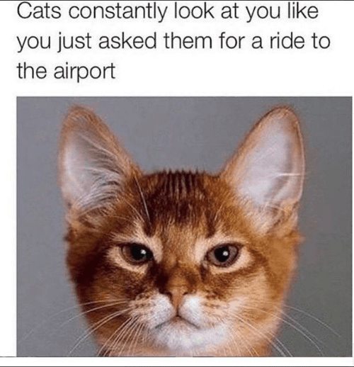 Cats, Memes, and 🤖: Cats constantly look at you like  you just asked them for a ride to  the airport