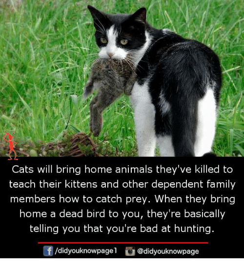 Animals, Bad, and Cats: Cats will bring home animals they've killed to  teach their kittens and other dependent family  members how to catch prey. When they bring  home a dead bird to you, they're basically  telling you that you're bad at hunting  /didyouknowpagel @didyouknowpage