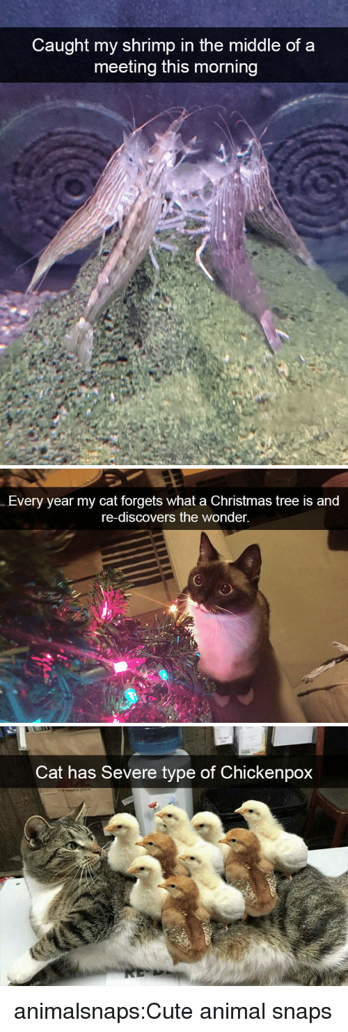 Christmas Tree: Caught my shrimp in the middle of a  meeting this morning   Every year my cat forgets what a Christmas tree is and  re-discovers the wonder.   Cat has Severe type of Chickenpox animalsnaps:Cute animal snaps