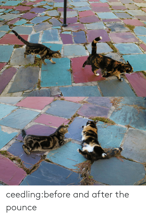 Before: ceedling:before and after the pounce