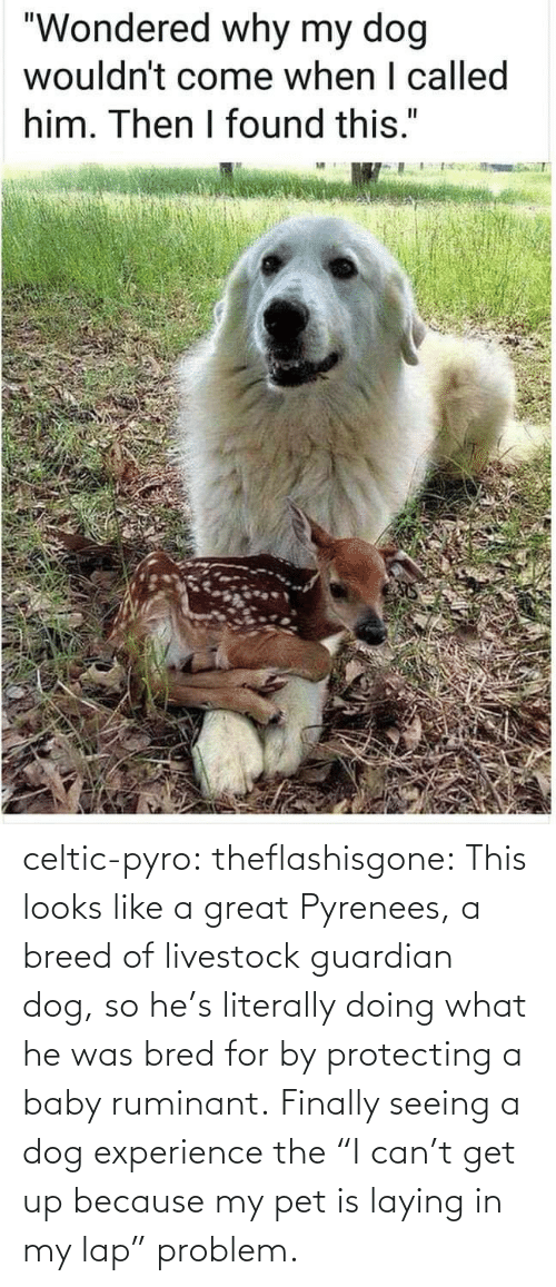 "problem: celtic-pyro:  theflashisgone: This looks like a great Pyrenees, a breed of livestock guardian dog, so he's literally doing what he was bred for by protecting a baby ruminant. Finally seeing a dog experience the ""I can't get up because my pet is laying in my lap"" problem."