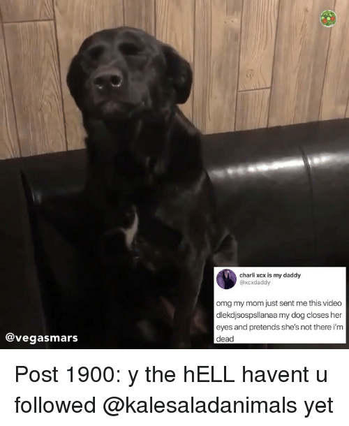 Memes, Omg, and Video: charli xcx is my daddy  @xcxdaddy  omg my mom just sent me this video  dlekdjsospsllanaa my dog closes her  eyes and pretends she's not there i'm  dead  @vegasmars Post 1900: y the hELL havent u followed @kalesaladanimals yet