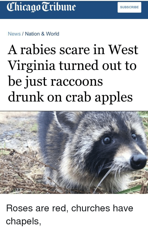 west virginia: Chicago Tribune  SUBSCRIBE  News/Nation & World  A rabies scare in West  Virginia turned out to  be iust raccoons  drunk on crab apples Roses are red, churches have chapels,
