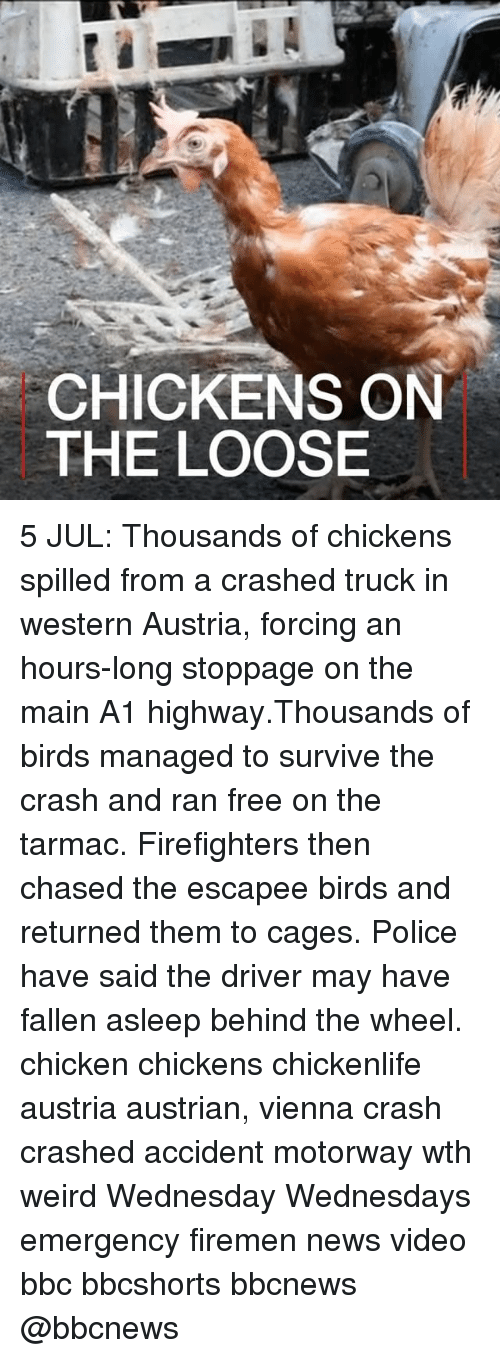 Memes, News, and Police: CHICKENS ON  THE LOOSE 5 JUL: Thousands of chickens spilled from a crashed truck in western Austria, forcing an hours-long stoppage on the main A1 highway.Thousands of birds managed to survive the crash and ran free on the tarmac. Firefighters then chased the escapee birds and returned them to cages. Police have said the driver may have fallen asleep behind the wheel. chicken chickens chickenlife austria austrian, vienna crash crashed accident motorway wth weird Wednesday Wednesdays emergency firemen news video bbc bbcshorts bbcnews @bbcnews