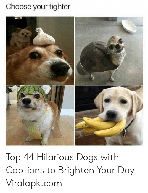 fighter: Choose your fighter Top 44 Hilarious Dogs with Captions to Brighten Your Day - Viralapk.com