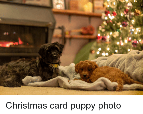 Christmas, Puppy, and Photo: Christmas card puppy photo