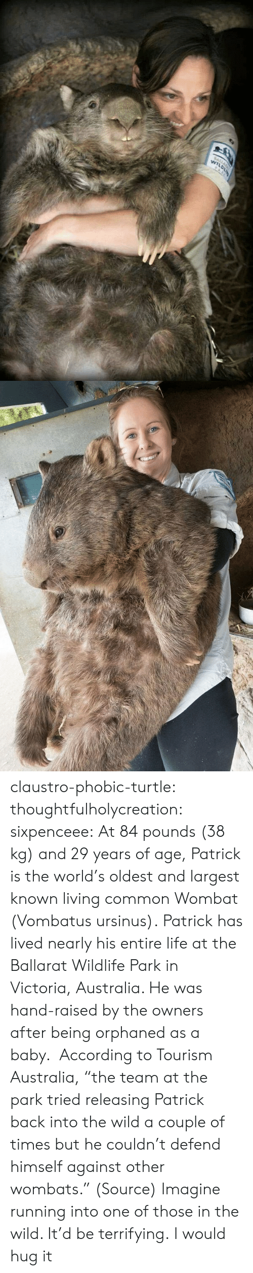 """Life, Tumblr, and Australia: claustro-phobic-turtle:  thoughtfulholycreation:  sixpenceee:   At 84 pounds (38 kg) and 29 years of age, Patrick is the world's oldest and largest known living common Wombat (Vombatus ursinus).Patrick has lived nearly his entire life at the Ballarat Wildlife Park in Victoria, Australia. He was hand-raised by the owners after being orphaned as a baby. According to Tourism Australia, """"the team at the park tried releasing Patrick back into the wild a couple of times but he couldn't defend himself against other wombats."""" (Source)   Imagine running into one of those in the wild. It'd be terrifying.   I would hug it"""