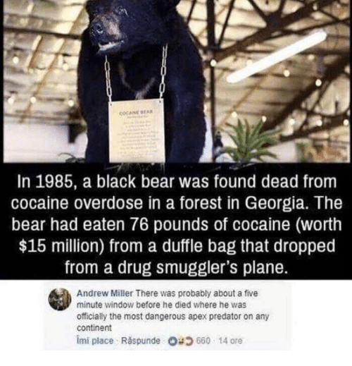 Apex, Bear, and Black: COCAINE EA  In 1985, a black bear was found dead from  cocaine overdose in a forest in Georgia. The  bear had eaten 76 pounds of cocaine (worth  $15 million) from a duffle bag that dropped  from a drug smuggler's plane.  Andrew Miller There was probably about a five  minute window before he died where he was  officially the most dangerous apex predator on any  continent  imi place . Răspunde 680 14 ore