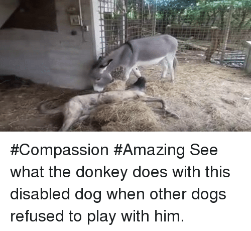 donkeys: #Compassion #Amazing See what the donkey does with this disabled dog when other dogs refused to play with him.