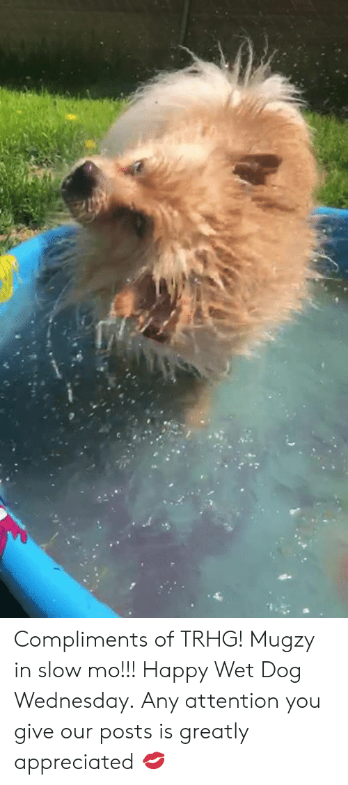 Memes, Happy, and Wednesday: Compliments of TRHG! Mugzy in slow mo!!! Happy Wet Dog Wednesday. Any attention you give our posts is greatly appreciated 💋