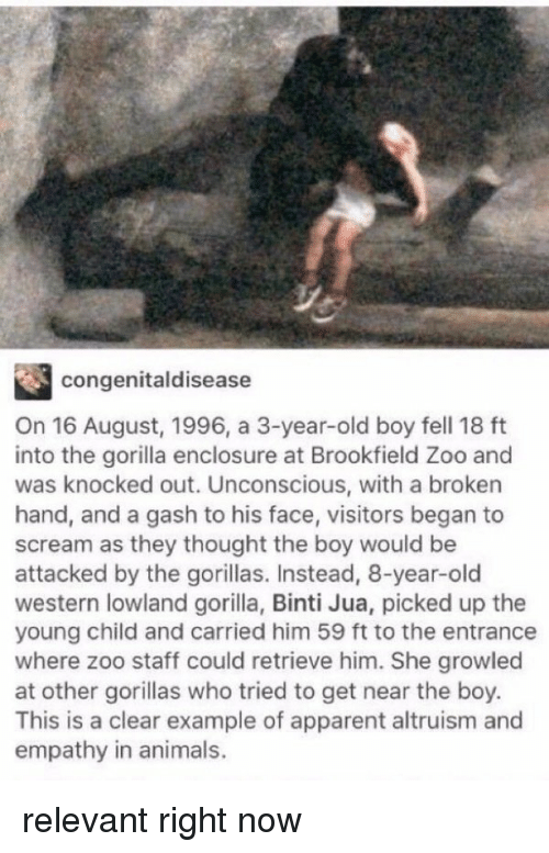 Â'¨: congenital disease  On 16 August, 1996, a 3-year-old boy fell 18 ft  into the gorilla enclosure at Brookfield Zoo and  was knocked out. Unconscious, with a broken  hand, and a gash to his face, visitors began to  scream as they thought the boy would be  attacked by the gorillas. Instead, 8-year-old  western lowland gorilla, Binti Jua, picked up the  young child and carried him 59 ft to the entrance  where zoo staff could retrieve him. She growled  at other gorillas who tried to get near the boy.  This is a clear example of apparent altruism and  empathy in animals. relevant right now