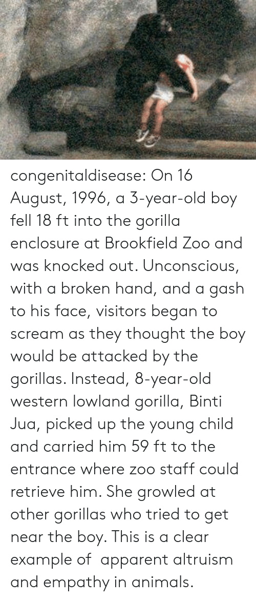 example: congenitaldisease: On 16 August, 1996, a 3-year-old boy fell 18 ft into the gorilla enclosure at Brookfield Zoo and was knocked out. Unconscious, with a broken hand, and a gash to his face, visitors began to scream as they thought the boy would be attacked by the gorillas. Instead, 8-year-old western lowland gorilla, Binti Jua, picked up the young child and carried him 59 ft to the entrance where zoo staff could retrieve him. She growled at other gorillas who tried to get near the boy. This is a clear example of   apparent altruism and empathy in animals.