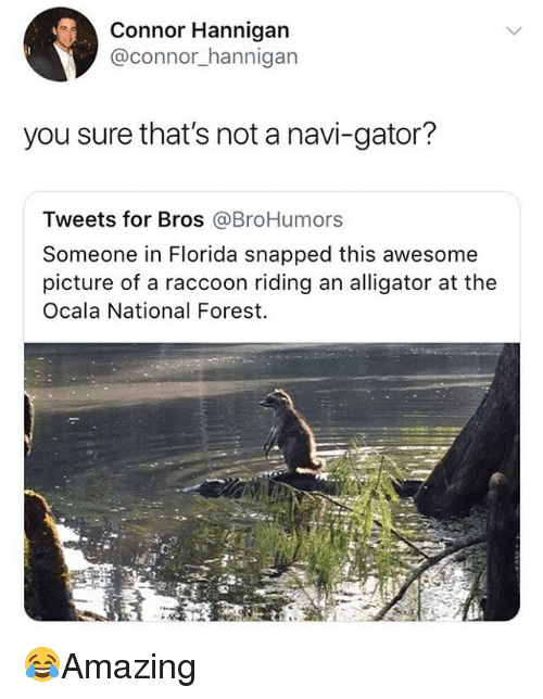 Memes, Alligator, and Florida: Connor Hannigan  @connor_hannigarn  you sure that's not a navi-gator?  Tweets for Bros @BroHumors  Someone in Florida snapped this awesome  picture of a raccoon riding an alligator at the  Ocala National Forest. 😂Amazing