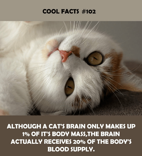 mass: COOL FACTS #102  ALTHOUGH A CAT'S BRAIN ONLY MAKES UP  1% OF IT'S BODY MASS,THE BRAIN  ACTUALLY RECEIVES 20% OF THE BODY'S  BLOOD SUPPLY.