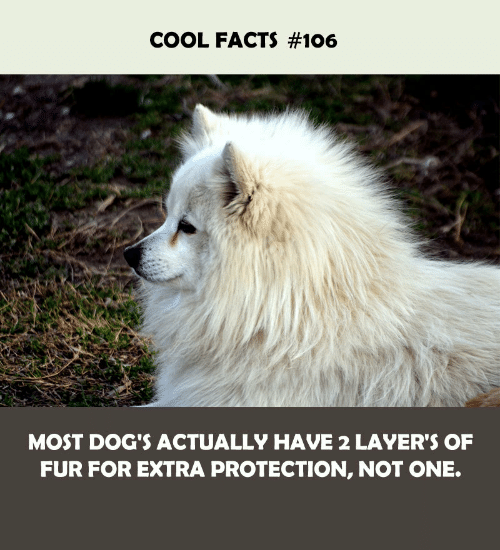 Dogs, Facts, and Cool: COOL FACTS #106  MOST DOG'S ACTUALLY HAVE 2 LAYER'S OF  FUR FOR EXTRA PROTECTION, NOT ONE.