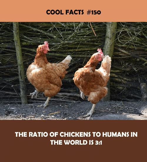 The Ratio: COOL FACTS #150  THE RATIO OF CHICKENS TO HUMANS IN  THE WORLD IS 3:1