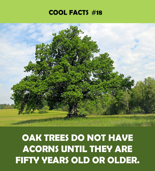 oak: COOL FACTS #18  OAK TREES DO NOT HAVE  ACORNS UNTIL THEY ARE  FIFTY YEARS OLD OR OLDER.