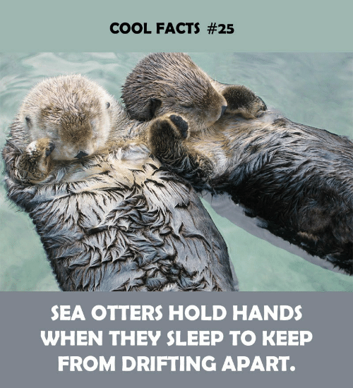 Facts, Otters, and Cool: COOL FACTS #25  SEA OTTERS HOLD HANDS  WHEN THEY SLEEP TO KEEP  FROM DRIFTING APART.