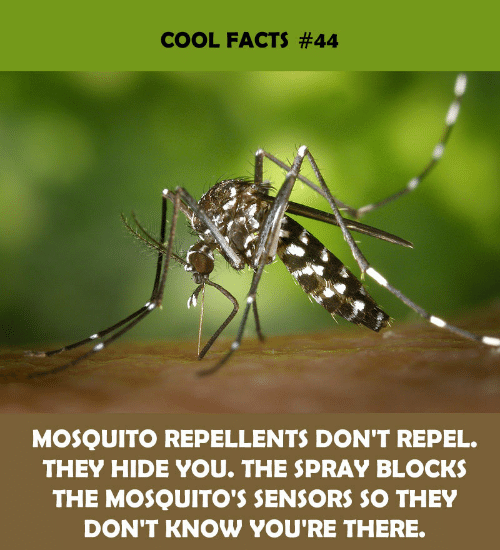 mosquitos: COOL FACTS #44  MOSQUITO REPELLENTS DON'T REPEL.  THEY HIDE YOU. THE SPRAY BLOCKS  THE MOSQUITO'S SENSORS SO THEY  DON'T KNOW YOU'RE THERE.