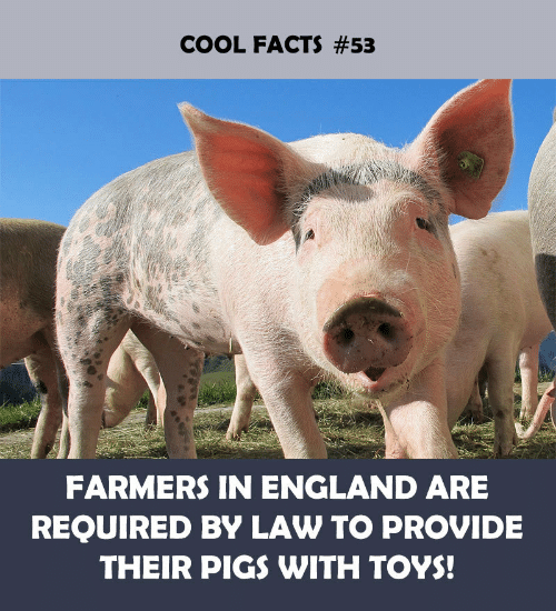 England, Facts, and Cool: COOL FACTS #53  FARMERS IN ENGLAND ARE  REQUIRED BY LAW TO PROVIDE  THEIR PIGS WITH TOYS!