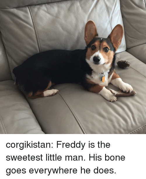 little man: corgikistan:  Freddy is the sweetest little man. His bone goes everywhere he does.