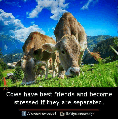 Friends, Memes, and Best: COWS have best friends and become  stressed if they are separated  /didyouknowpagel @didyouknowpage