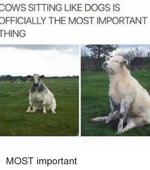 Dogs, Memes, and 🤖: COWS  SITTING LIKE DOGS IS  OFFICIALLY  THE MOST IMPORTANT  THING MOST important