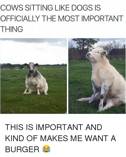 Dogs, Funny, and Burger: COWS SITTING LIKE DOGS IS  OFFICIALLY THE MOST IMPORTANT  THING THIS IS IMPORTANT AND KIND OF MAKES ME WANT A BURGER 😂