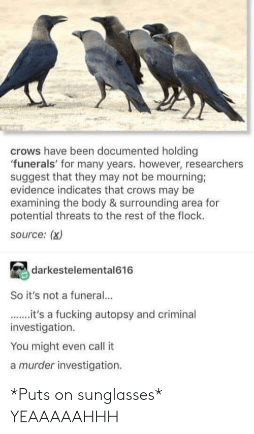 Fucking, Tumblr, and Sunglasses: crows have been documented holding  funerals' for many years. however, researchers  suggest that they may not be mourning;  evidence indicates that crows may be  examining the body & surrounding area for  potential threats to the rest of the flock.  source: (x)  darkestelemental616  So it's not a funeral...  it's a fucking autopsy and criminal  investigation.  You might even call it  a murder investigation. *Puts on sunglasses* YEAAAAAHHH