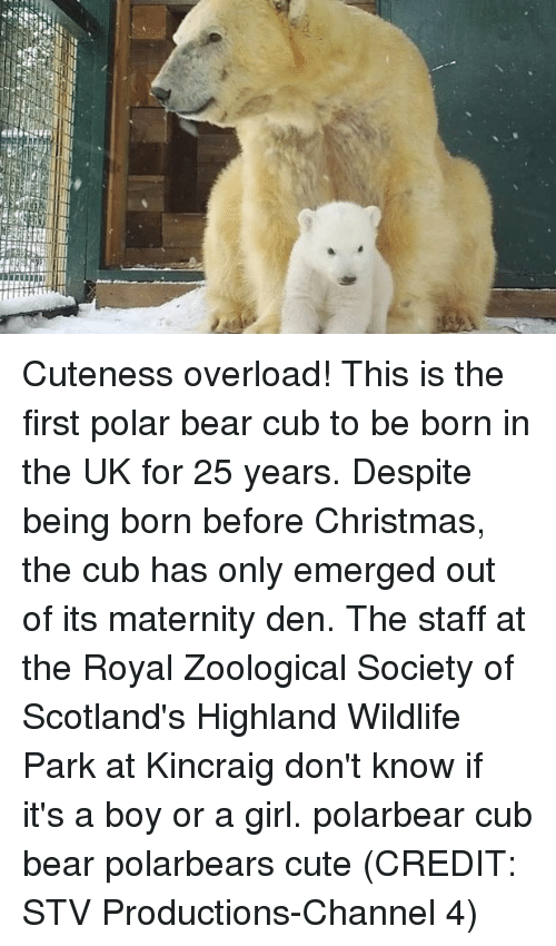 Christmas, Cute, and Memes: Cuteness overload! This is the first polar bear cub to be born in the UK for 25 years. Despite being born before Christmas, the cub has only emerged out of its maternity den. The staff at the Royal Zoological Society of Scotland's Highland Wildlife Park at Kincraig don't know if it's a boy or a girl. polarbear cub bear polarbears cute (CREDIT: STV Productions-Channel 4)