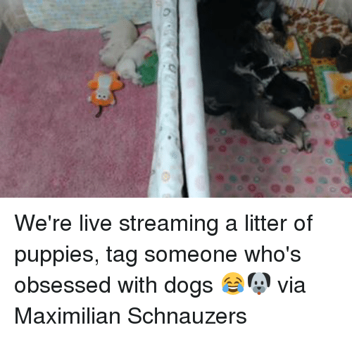Schnauzer: D  00, @@ We're live streaming a litter of puppies, tag someone who's obsessed with dogs 😂🐶  via Maximilian Schnauzers