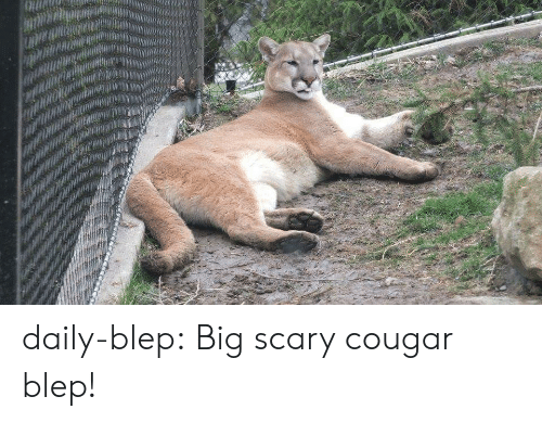 Cougared: daily-blep:  Big scary cougar blep!