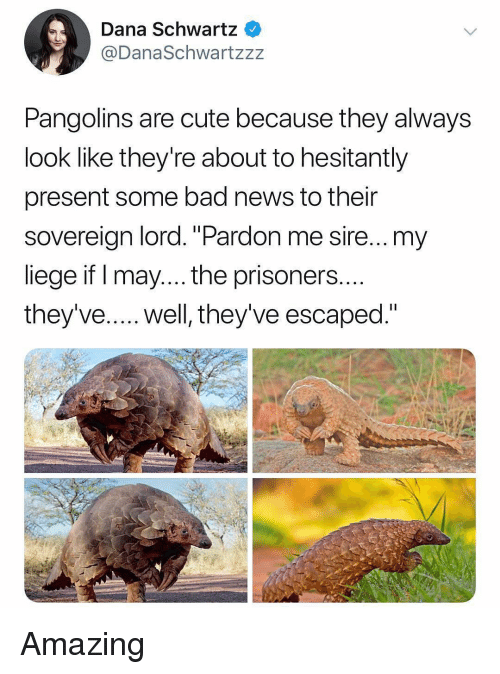 "Bad, Cute, and Memes: Dana Schwartz  @DanaSchwartzzz  Pangolins are cute because they always  look like they're about to hesitantly  present some bad news to their  sovereign lord.""Pardon me sire...my  liege if I may... the prisoners  they've.... well, they've escaped."" Amazing"
