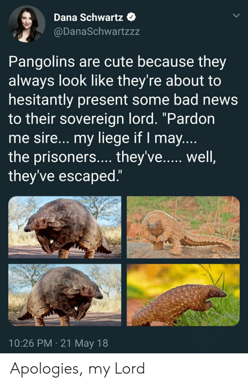 "My Lord: Dana Schwartz  @DanaSchwartzzz  Pangolins are cute because they  always look like they're about to  hesitantly present some bad news  to their sovereign lord. ""Pardon  me sire... my liege if I may  the prisoners.... they've...., well  they've escaped  10:26 PM 21 May 18 Apologies, my Lord"