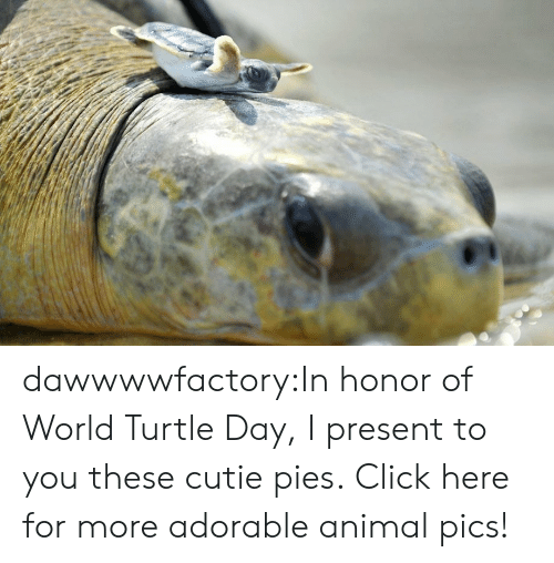 Click, Tumblr, and Animal: dawwwwfactory:In honor of World Turtle Day, I present to you these cutie pies. Click here for more adorable animal pics!