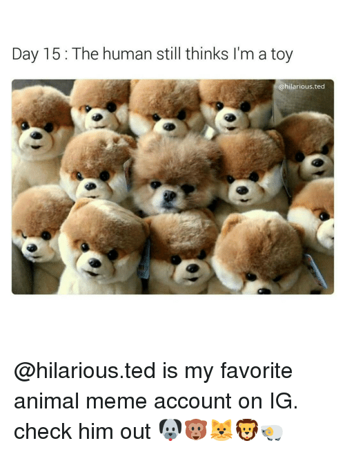 Memes, Ted, and Toys: Day 15 The human still thinks I'm a toy  @hilarious ted @hilarious.ted is my favorite animal meme account on IG. check him out 🐶🐵🐱🦁🐏