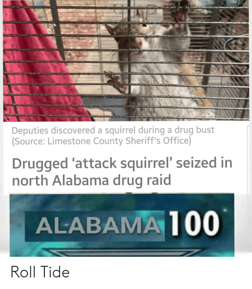 Reddit, Alabama, and Office: Deputies discovered a squirrel during a drug bust  (Source: Limestone County Sheriff's Office)  Drugged 'attack squirrel' seized in  north Alabama drug raid  ALABAMA 100 Roll Tide